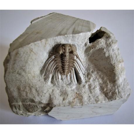 Trilobit Kettneraspis williansi