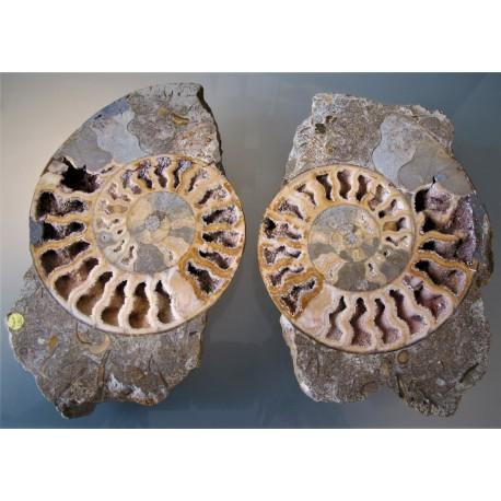 Ammonit aufgeschnitten