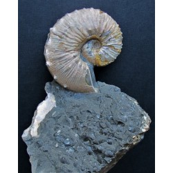 Ammonit auf Matrix