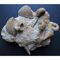 Fazisstück mit Trigonien, Ammoniten u. Schnecken