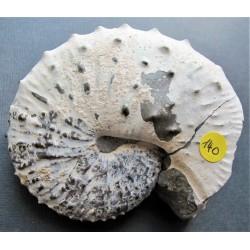 Ammonit Discoscaphites Conradi