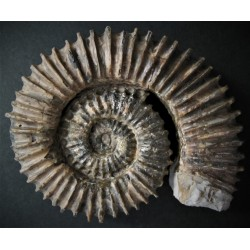 Ammonit Aegocioceras cf. capricornu