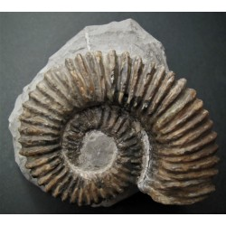 Ammonit Aegocrioceras