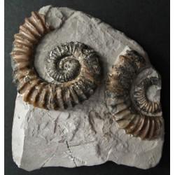 Ammonit Aegocrioceras spathi (RAWSON)