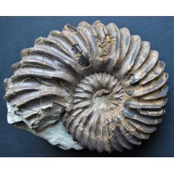 Ammonit Hoplites