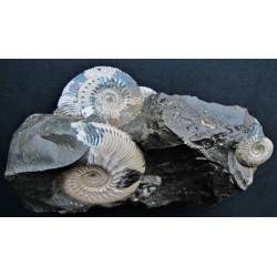 Ammonitenstufe Kosmoceras sp.