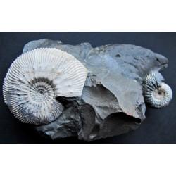 Ammonit Kosmoceras sp.